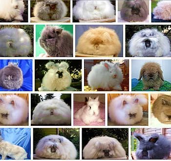 ANGORA RABBITS ON GOOGLE IMAGE
